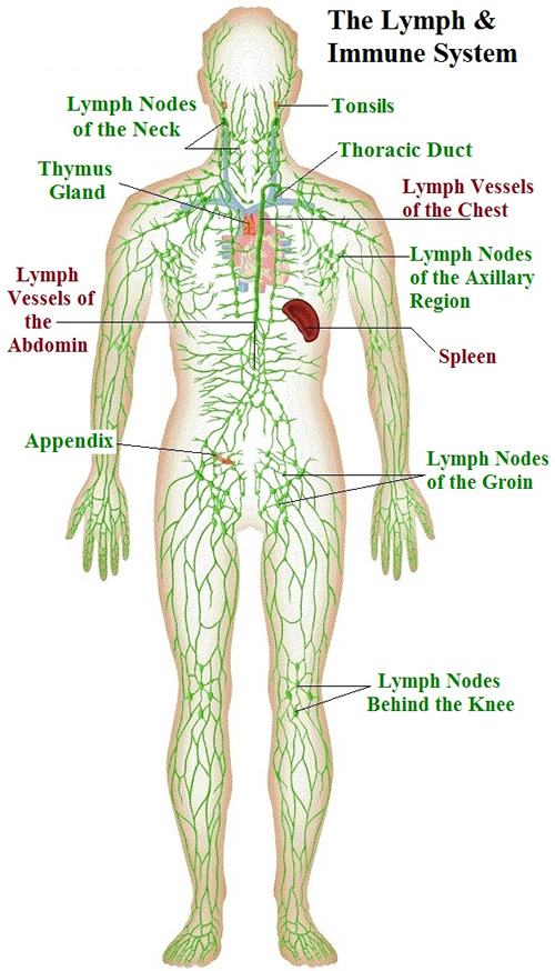 lymph - flowing river of life! - nourish holistic nutrition, Human Body